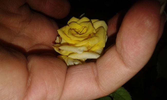Iranian_photography Nightphotography Flower Photography Close-up Rose🌹 Rose - Flower Yellow Yellow Flower Yellow Rose EyeEm Best Shots - Nature EyeEm Nature Lover Flower EyeEm Flower EyeEm Nature Eye Em Nature Lover The Week On EyeEm EyeEmNewHere