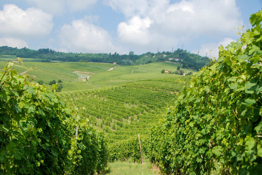 Agricultural Land Barber Barolo Countryside Dolcetto Green Color Growth Hills Italy Lang Langhe Nature Nature Nebbia No People Outdoor Outdoors Piedmont Italy UNESCO World Heritage Site Vineyard Vineyard Cultivation Vineyards  Wine Winter