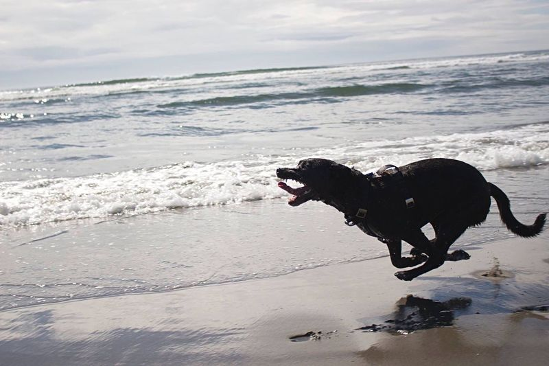 Running Run Dog Fetch Chase Ball Beach Waves Play Went to the beach with my pup, she did her best impression of a Star Wars racer bike!
