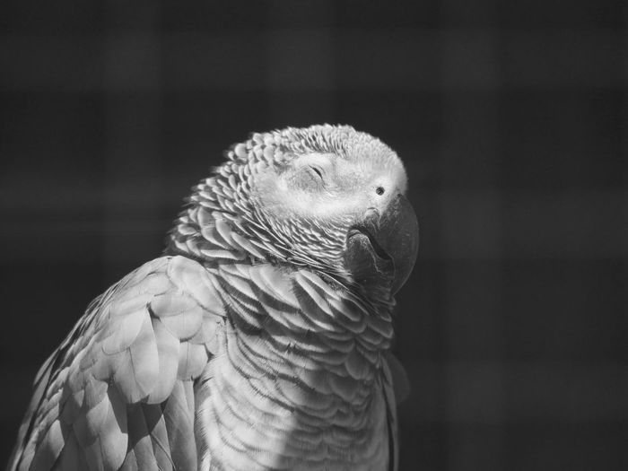 Grey Parrot Parrot Animal Body Part Animals Beak Bird Black And White Feather  Macro No People Outdoors Relaxing Taking Photos Sun Bath From My Point Of View Animal Themes Black&white Bnw Black & White Blackandwhite Home Is Where The Art Is Monochrome Photography