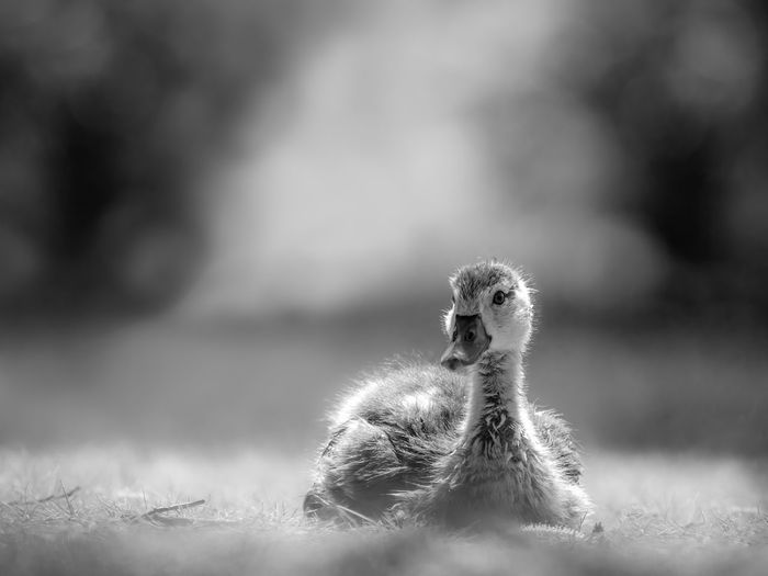 Close-up of a goose on field