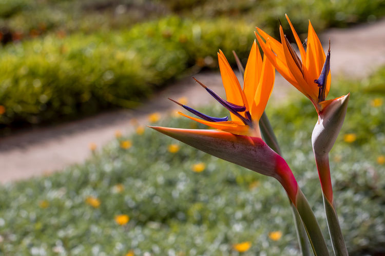 Flowering Plant Flower Vulnerability  Fragility Plant Petal Freshness Growth Beauty In Nature Flower Head Orange Color Close-up Inflorescence Bird Of Paradise - Plant Focus On Foreground Nature Day No People Botany Outdoors Ornamental Garden Gazania