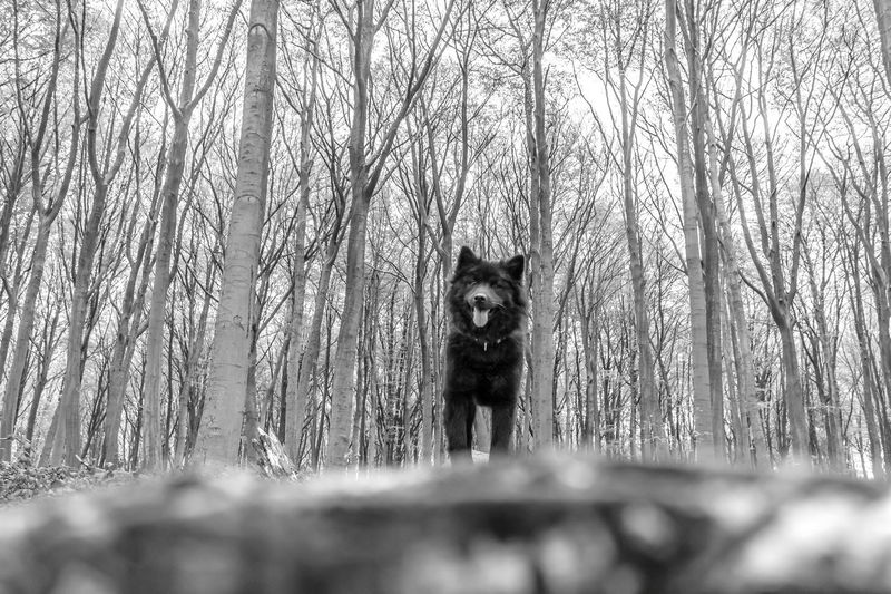 Happy Lexi Forest Tree One Animal WoodLand Outdoors Woods Non-urban Scene Nature Tranquility Eurasier Dog Pet Black Dog Tranquil Scene Standing Black And White Happydog Monochrome Photography