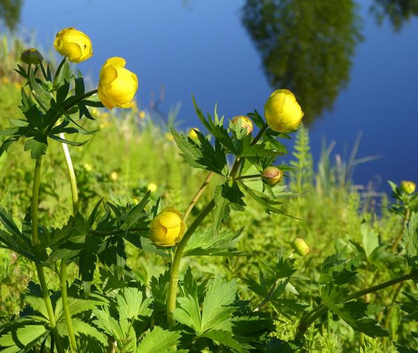 Yellow Flower Sunlight Water Arctic Summer Globeflowers In Lappland Nature Rovaniemi, Finland Arctic Light Beauty In Nature Tranquility Riverside Sunlight Summer Vibes No People Green Color 💙 Amazing Day Iloveolddoors 💜life Is Good