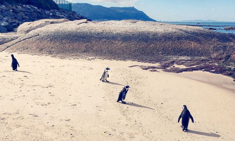 South Africa Boulders Beach Penguins Nature Winter Tourism Beauty In Nature