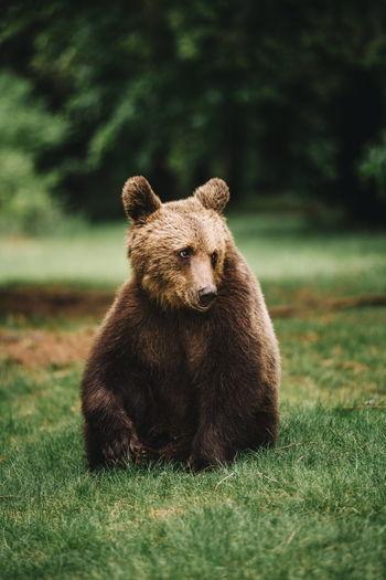 Bear Sitting On Field In Forest