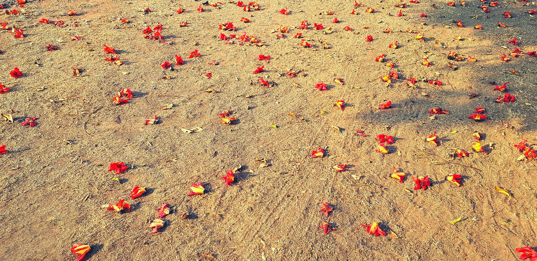 High angle view of red petals on field