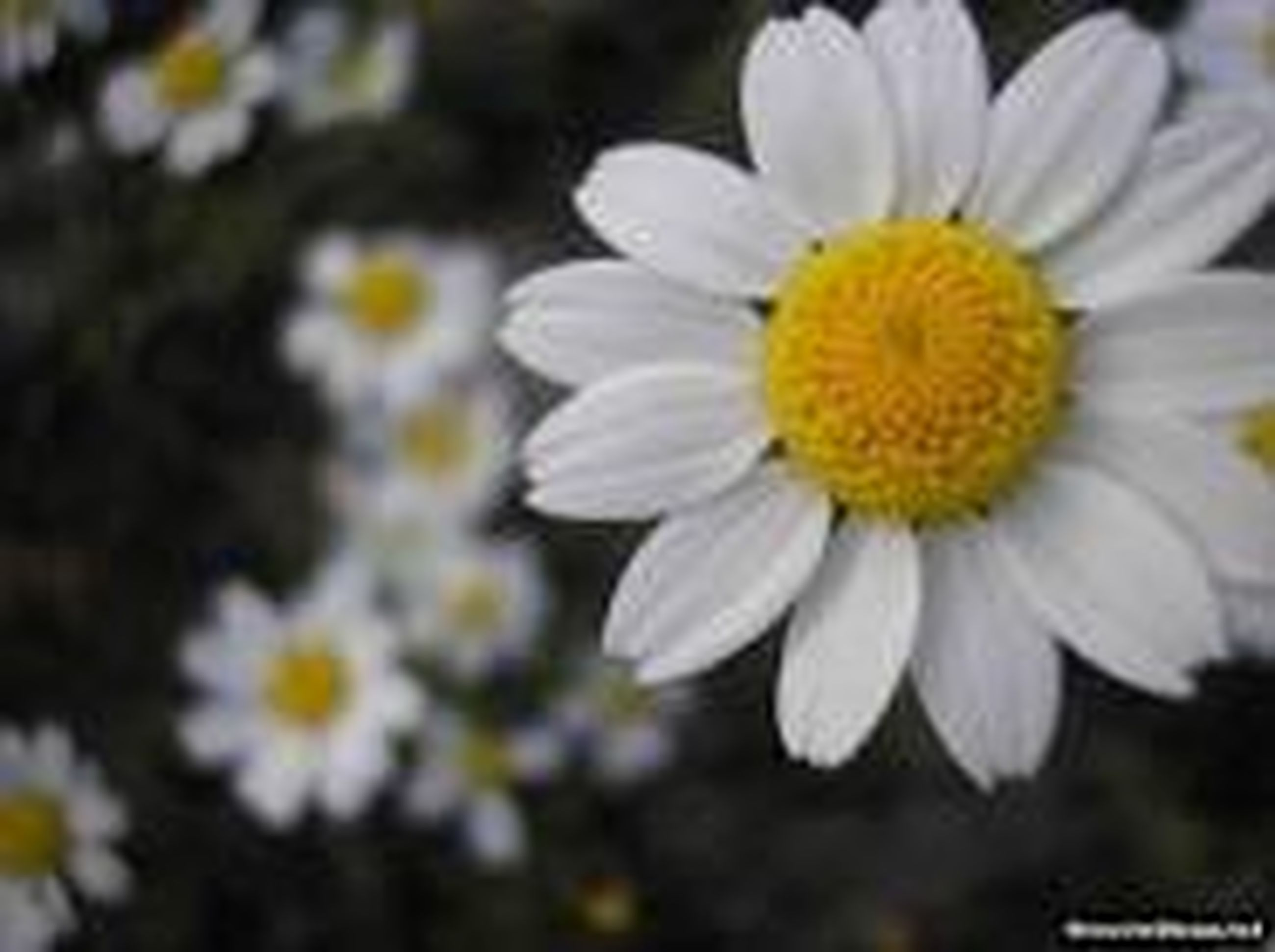 flower, freshness, petal, fragility, flower head, growth, yellow, beauty in nature, white color, daisy, nature, blooming, close-up, pollen, focus on foreground, plant, in bloom, selective focus, outdoors, day