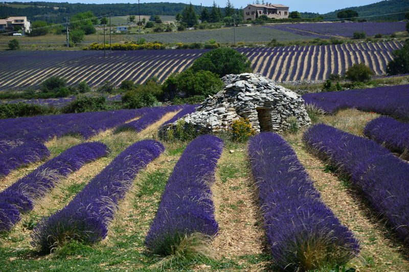 Borie en South of France ,Provence Borie En South Of France ,Provence Lavender Field Nature Borie Historic Historical House House Of Stones Lavender South Of France