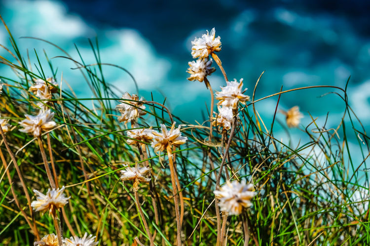 Close-up of white flowering plants on field on a cliff , wild atlantic way