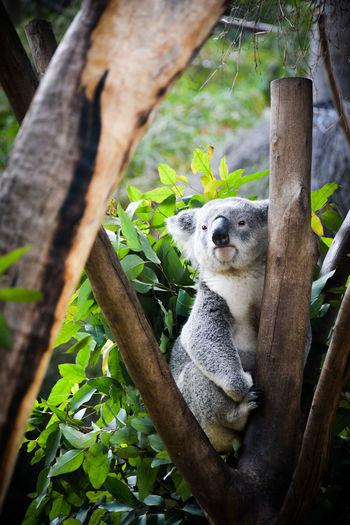 Koala clinging to wooden stump