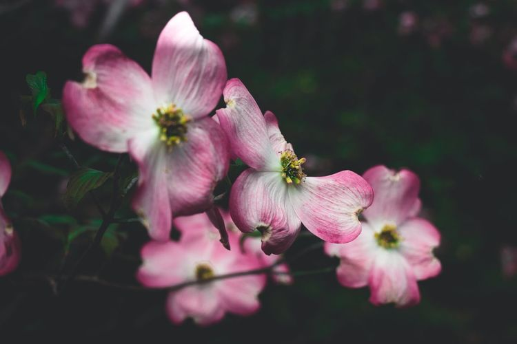 The life of a flower. Macro Macro Photography Pink Color Flower Head Pink Color Petal Close-up Plant Focus Blossom Plant Life First Eyeem Photo