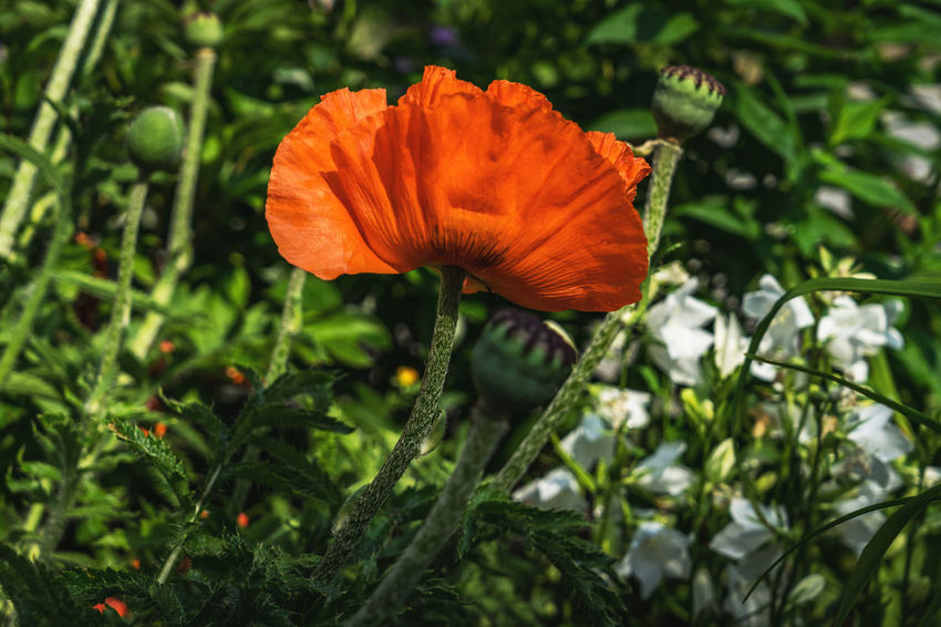 Beauty In Nature Blooming Close Up Close-up Day Flower Flower Collection Flower Head Flowers Fragility Freshness Green Color Macro Macro Beauty Macro Photography Macro_collection Nature No People Outdoors Petal Poppy Poppy Flowers The EyeEm Collection Premium Collection Getty Images