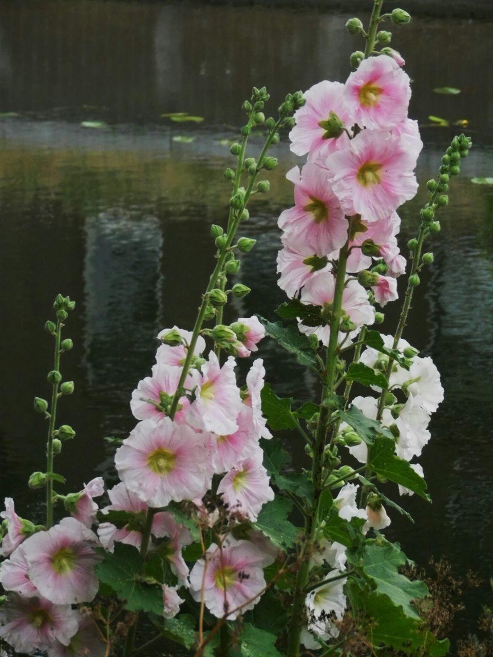 Pink Flowers Blooming By Lake