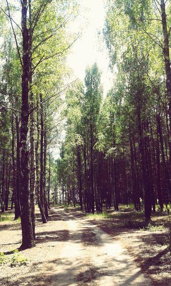Trail Forest Birch Grove Sukholuch'ye Ukraine
