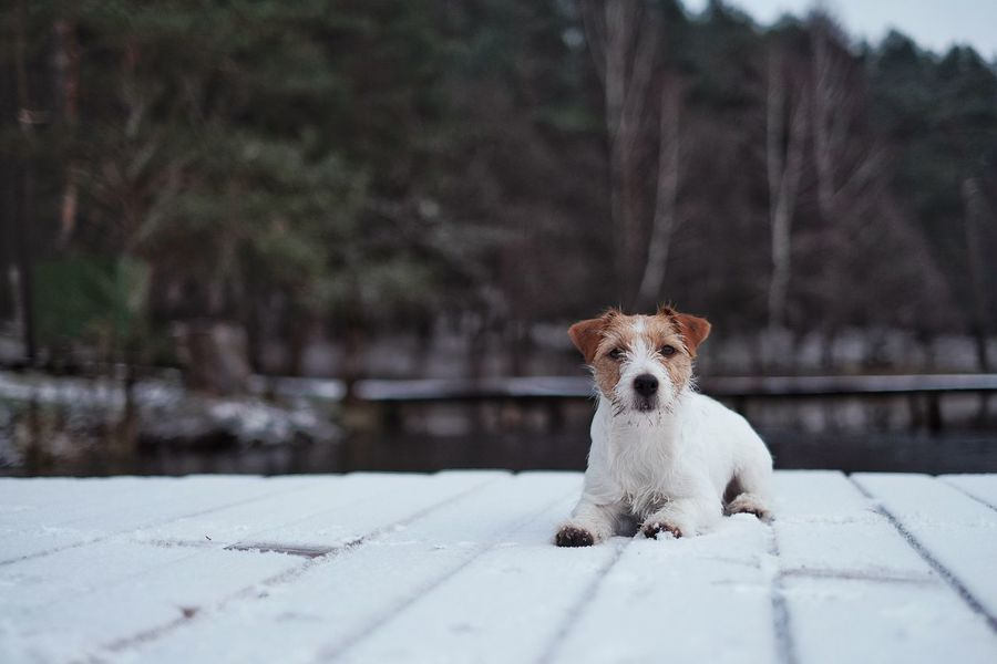 Jack Russell terrier lying on a snowy deck by the lake. Dog Pets One Animal Domestic Animals Animal Themes Cold Temperature Winter Mammal Outdoors Snow Nature Day No People Looking At Camera Portrait Water Jack Russell Jackrussellterrier Jack Russell Terrier Winter Firstsnow First Snow