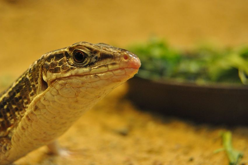 Echse Lizard Lizards Zoo Animal Themes Animal Wildlife Animals In The Wild Close-up Day Echsen Focus On Foreground Nature No People One Animal Outdoors Reptil Reptile Reptiles Saurian Zoo Animals  Zoo Life