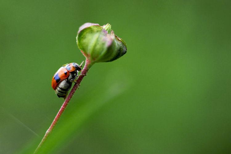 Lady bug Leaf Damselfly