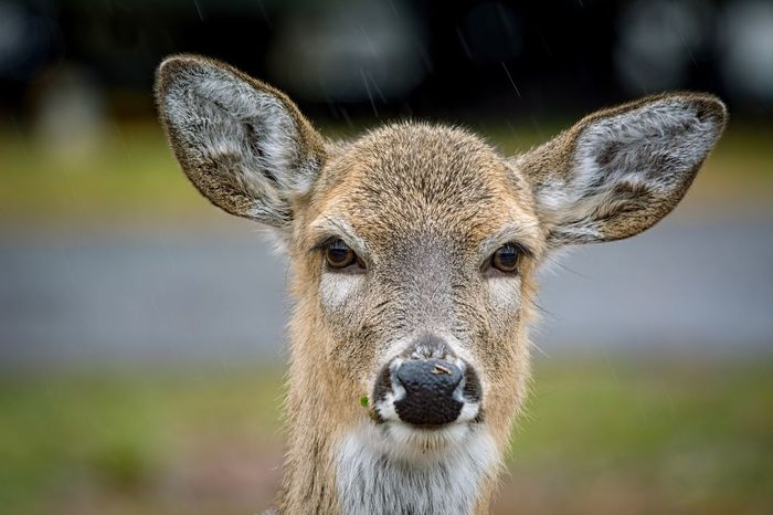 Rainforest Rain Doe Alabama Outdoors Alabama Whitetail Deer Deer EyeEm Selects One Animal Focus On Foreground Portrait Looking At Camera Animals In The Wild Animal Themes Animal Wildlife Mammal Close-up Animal Head  Day No People Outdoors Nature