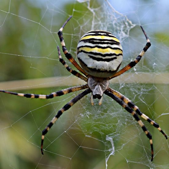 Close-up of wasp spider