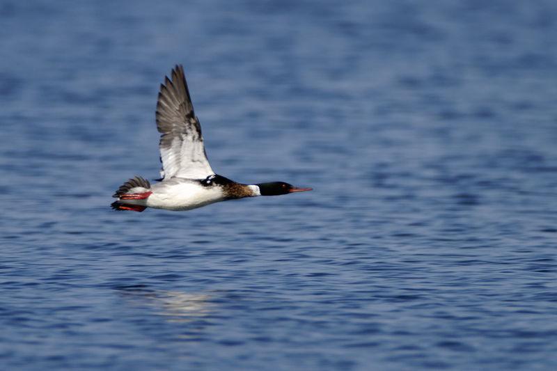 Red-breasted merganser flying, brijuni national park