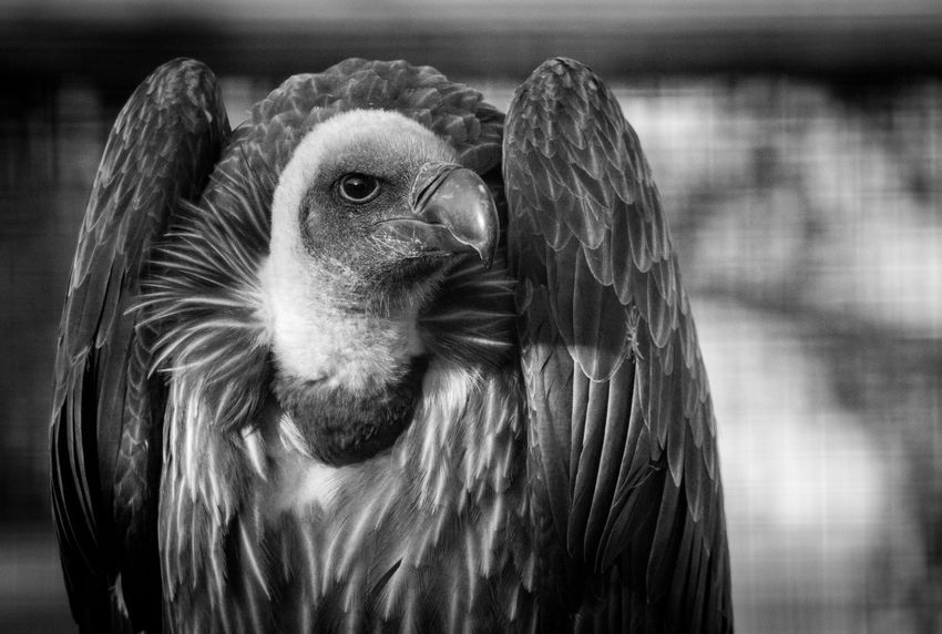 Vultures have a pretty grim reputation, but I think this one looks majestic af! Animal Themes Animal Wildlife Animals In The Wild Bird Blackandwhite Close-up Day Domestic Animals Eye4photography  EyeEm Best Shots EyeEm Nature Lover Feathers Focus On Foreground Monochrome Nature Nature_collection No People One Animal Outdoors Scavenger Vulture