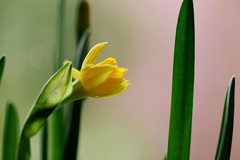 Close-Up Of Yellow Daffodil Flower
