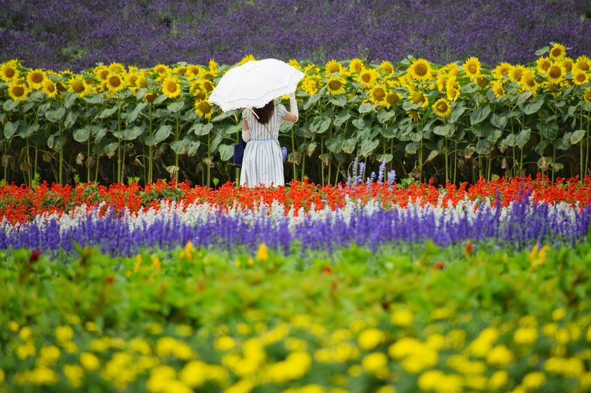 Capturing beautiful summer flowers in Choei lavender farm, Nakafurano town, Hokkaido, Japan. Flower Beauty In Nature Nature Plant Purple Growth Flowerbed Outdoors Freshness Yellow Day Fragility Multi Colored Scenics Flower Head Scarlet Sage Lavender Sunflower Hokkaido Japan EyeEmNewHere