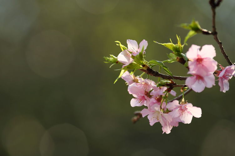 Close-up of pink cherry blossoms blooming outdoors