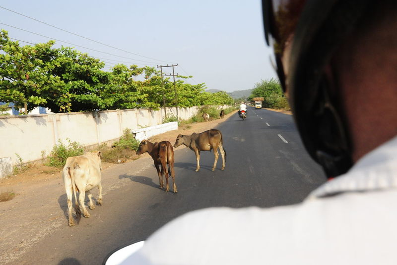 Cows walking on street in city