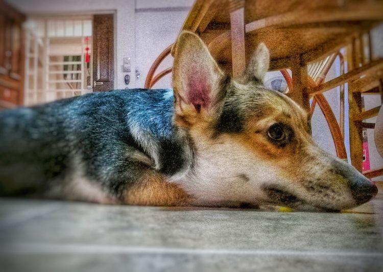 #pets #corgi
