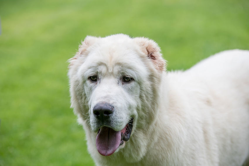 Central Asian Shepherd Dog. Alabai - An Ancient Breed From The Regions Of Central Asia Alabai Animal Themes Close-up Day Dog Domestic Animals Grass Looking At Camera Mammal Nature No People One Animal Outdoors Pets Portrait Shepherd