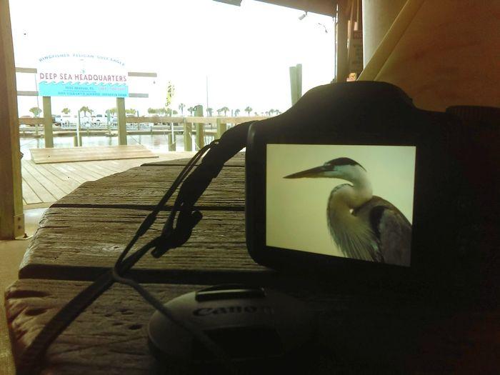 Showcase July Taking Photographs Double Take  Outdoors Blue Heron Camera Screenshot