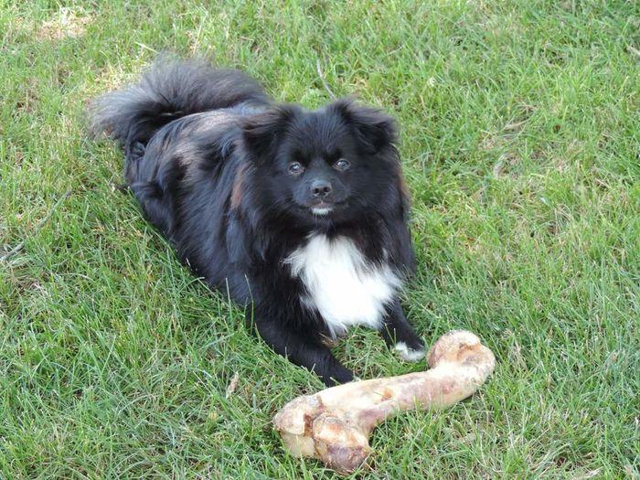 Pomeranian Too Big Bone  Pets Dog Portrait Hairy