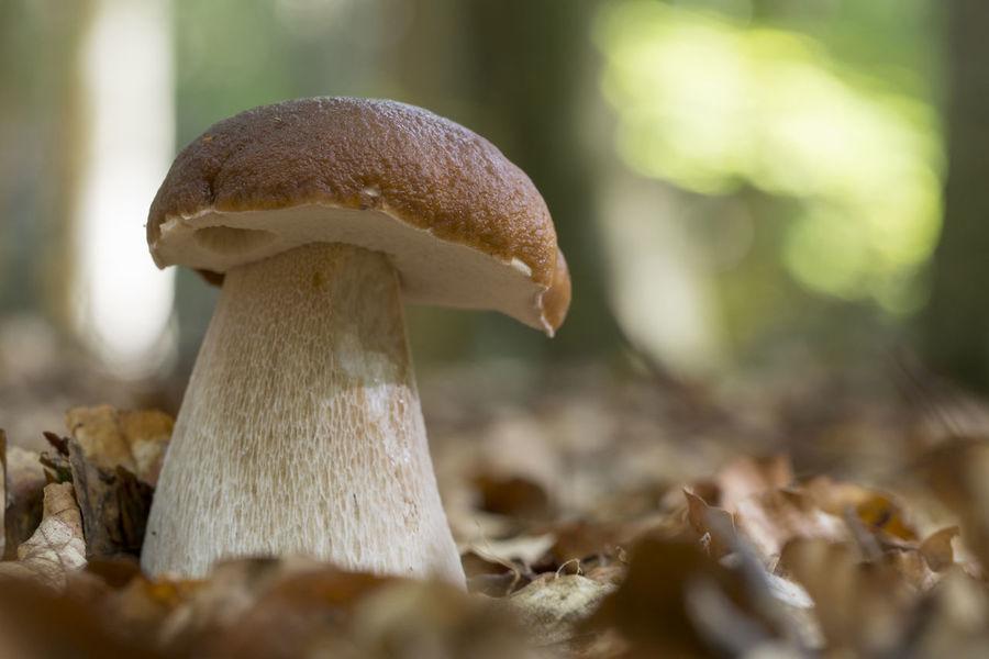King bolete, Boletus edulis Autumn Nature Fungus Leaf Leaves Macro Mushroom Outdoors