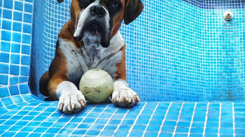 Pool party for one Enjoying Life I Love My Dog Dogs I Love My Boxer Boxer Dogs Makemoments Moment Lens Momenttele