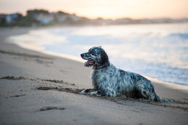 Side view of dog resting at beach during sunset