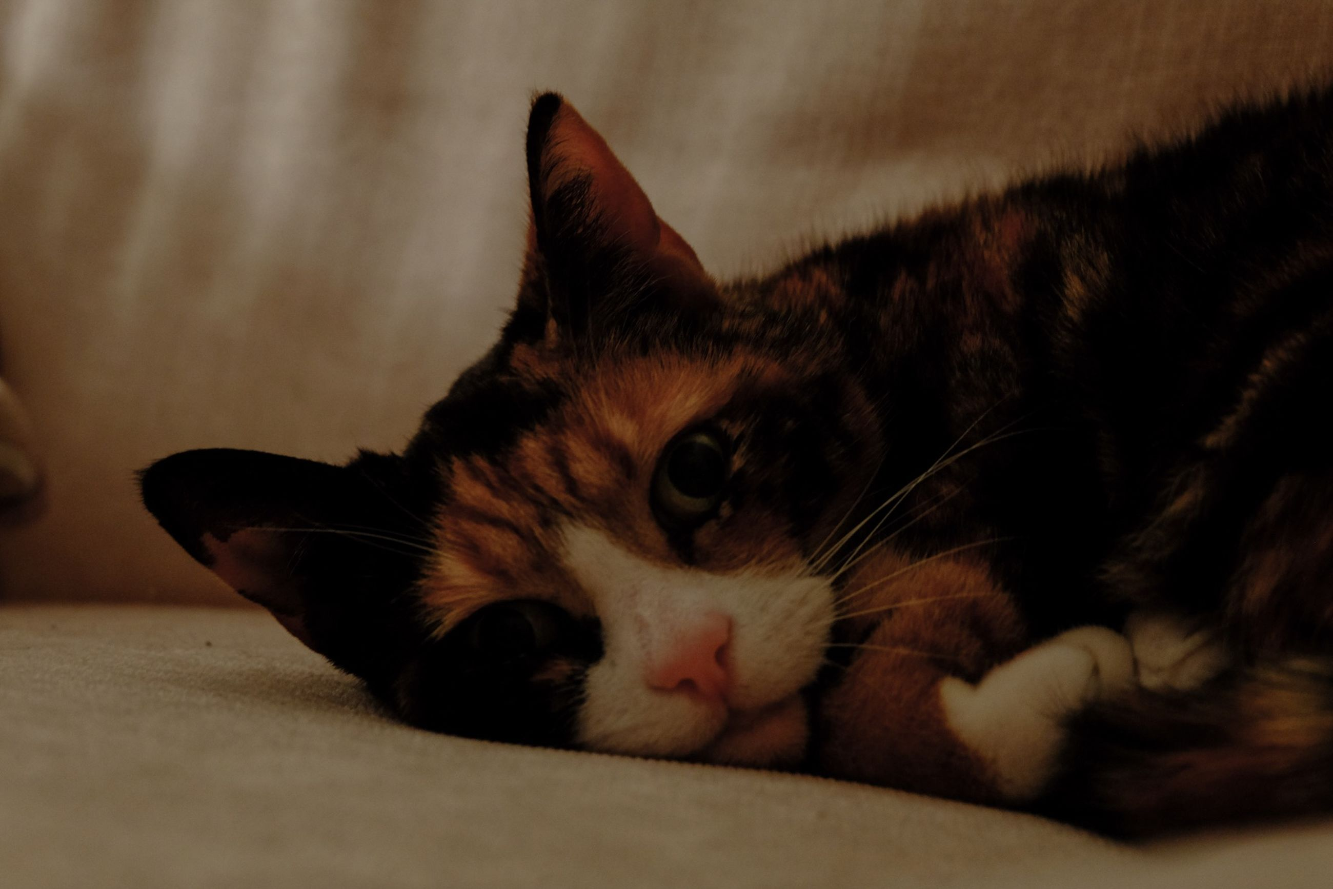 domestic cat, pets, domestic animals, cat, indoors, one animal, animal themes, feline, mammal, whisker, relaxation, close-up, home interior, looking at camera, portrait, lying down, resting, selective focus, animal head, focus on foreground
