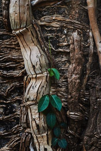Parasite vine Parasite Parasite Plant Vine Forest Wood Decaying Decay Dry Tree Tree Trunk Plant Plant Part Nature No People Close-up Root Trunk Wood - Material Outdoors Growth Day Plant Bark Leaf Leaves Bark