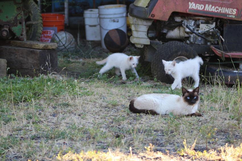 Cats Day Domestic Animals Field Grass Grassy Kittens Livestock Mammal Nature No People Outdoors Rural Scene