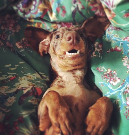 Smile Indoors  Bed One Animal Animal Themes Looking At Camera Domestic Animals Close-up Stuffed Toy Mammal No People Pets Portrait Day Dachshund Dachshunds Insta Dogs Cutepets Cute Dog Sausagedog Cute Dog  Funnydogs FUNNY ANIMALS