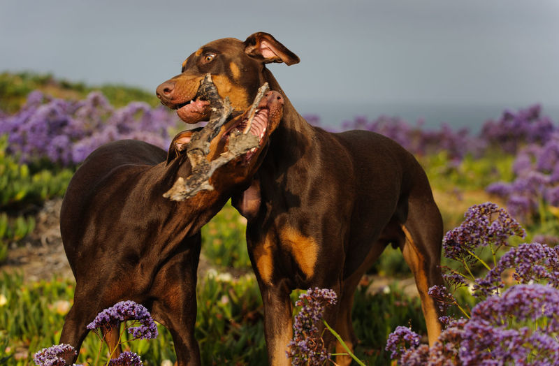 Doberman pinschers play fighting with stick on field against sky