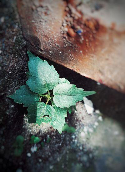 Leaf Rusty