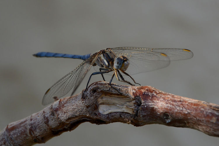 Close-up of dragonfly perching on branch