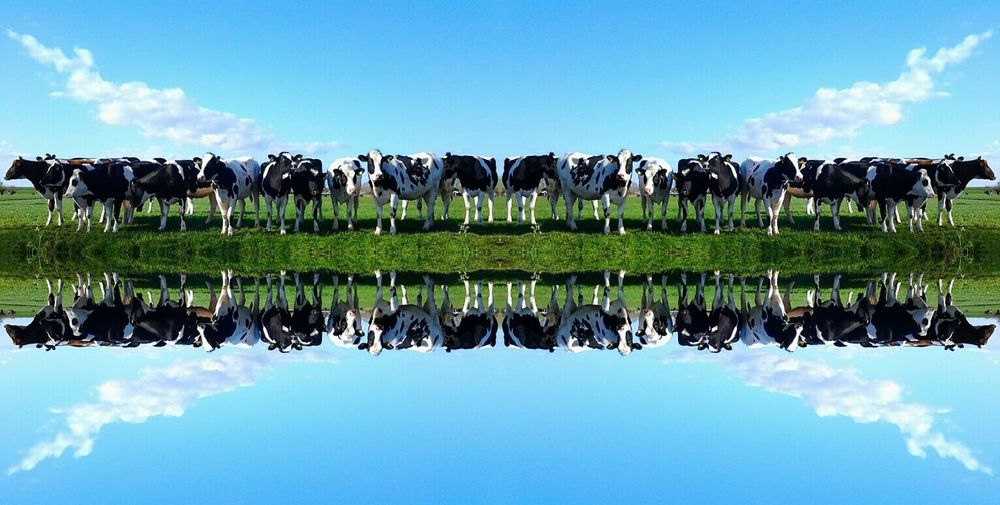 Cows standing on field by lake with reflection against sky
