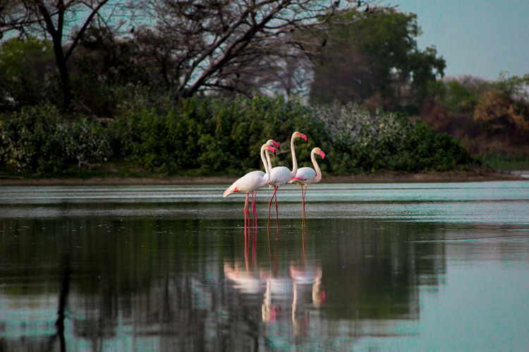 Beauty that reflects. Greater flamingos at Thol Bird Sanctuary, Gujarat, India. Beak EyeEmNewHere Flamingo Pink Bird Lake Nature Reflection Water First Eyeem Photo