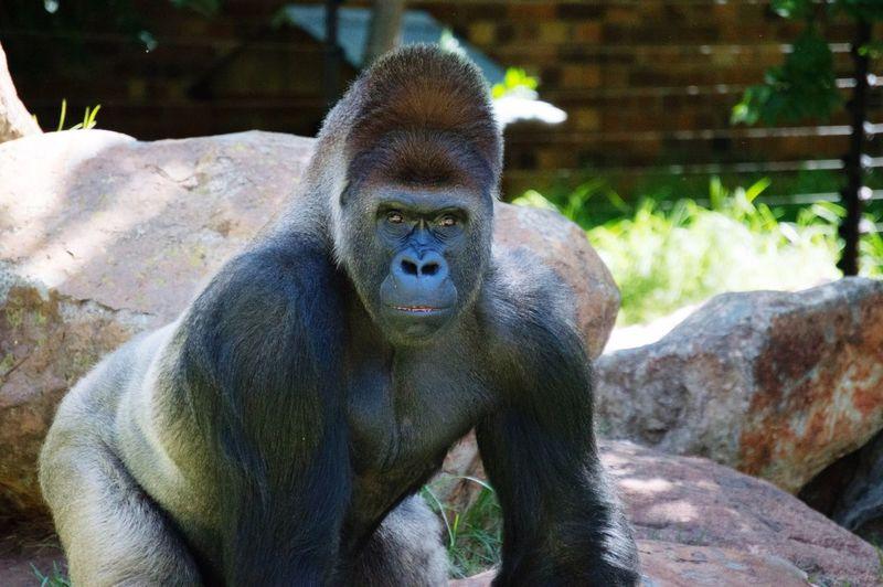 Portrait Of Gorilla By Rocks On Field
