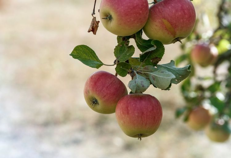 Apfelernte Trockenheit Hitze
