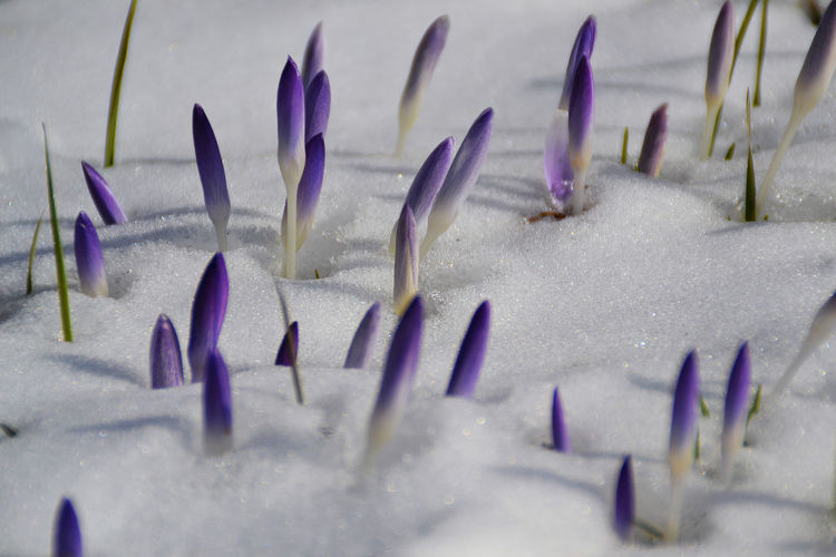 Close-up of crocus buds on snow field