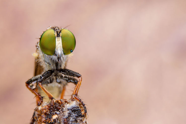 macro shot of a robber fly. Beautiful Bug Fly Green Animal Eye Animal Wildlife Animals In The Wild Close-up Eye Focus Insect Invertebrate Macro Nature One Animal Outdoor Robber Fly